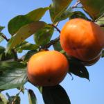 柿の美容と健康に効果のある食べ方って?成分や栄養素とは?